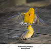 04 - Prothonotary Warrblers