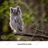 05 - Screech Owl