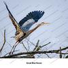 02 - Great Blue Heron