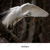 11 - Great Egret