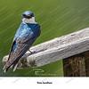 09 - Tree Swallow