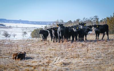 _LPH8192-cows
