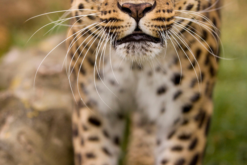 Mouth of a Leopard