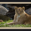 lioness at Lions Tigers & Bears in Alpine, California