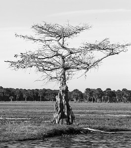 Florida Cypress Tree