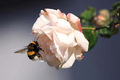 The Rose and the Bumble Bee