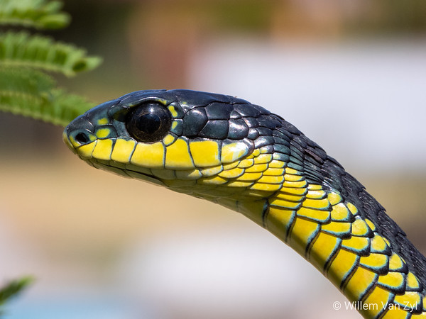 20200111 Boomslang (Dispholidus typus) from Duynefontein, Western Cape