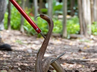 20191027 Cape Cobra (Naja nivea) from Stellenbosch, Western Cape