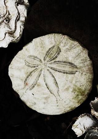 A rustic sand dollar and oyster shells covered in barnacles