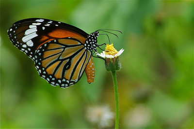 Blue Beach Butterfly  (Thailand)   I'm pretty sure this is a Common Tiger Butterfly (Danaus genutia)