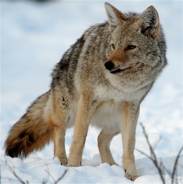 Coyote  (Yellowstone National Park)
