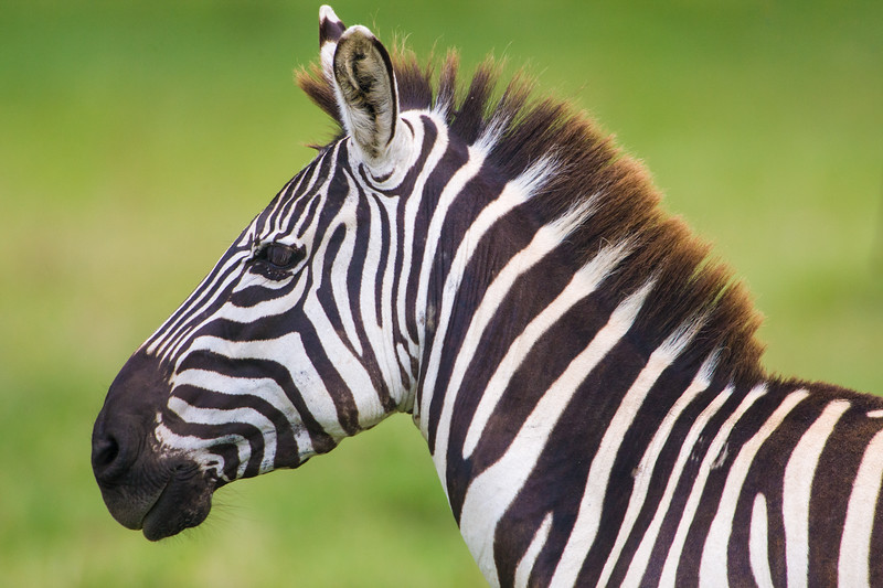 Africa. Kenya. Common (Burchell's) Zebra stallion at Lake Nakuru NP.