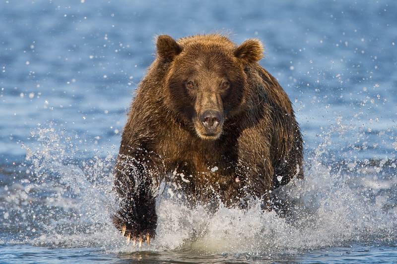 USA. Alaska. Coastal Brown Bear fishing for salmon at Silver Salmon Creek in Lake Clark NP.