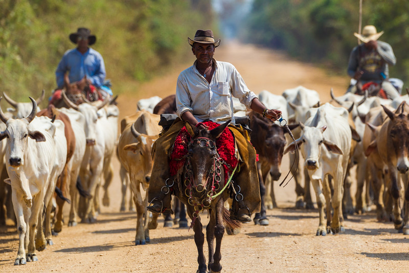South America. Brazil. Panateros, Brazilian cowboys, drive cattle along the Rodovia Transpanateira, the only road into the Pantanal, the world's largest wetland, and a UNESCO World Heritage site.