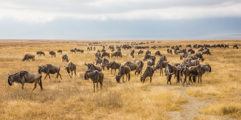 Africa. Tanzania. Common Zebras and Wildebeest herd at Ngorongoro Crater.