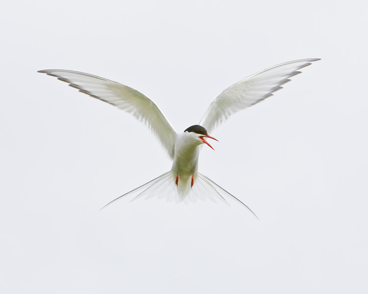 Arctic Tern in flight in Iceland.