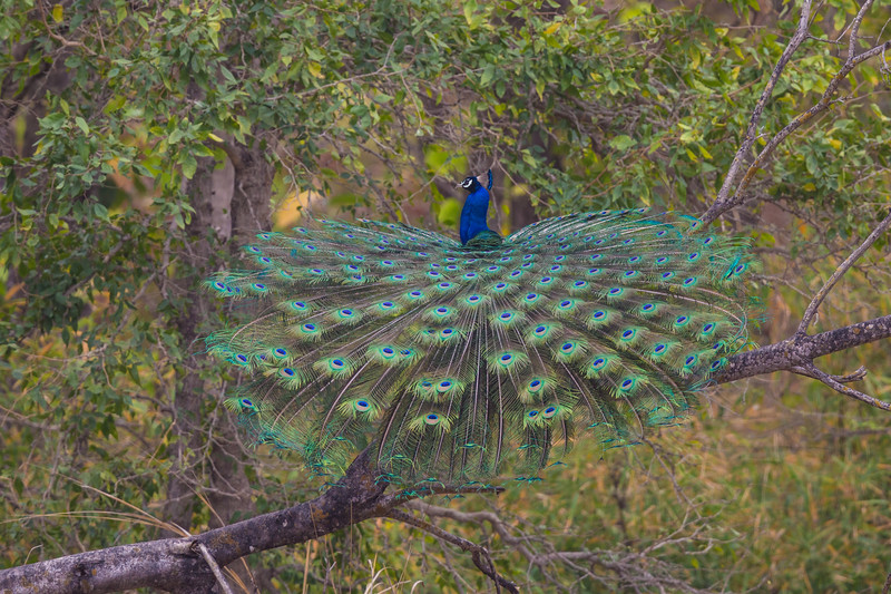 Asia. India. Peacock (Pavo cristatus) on display at Bandahavgarh Tiger Reserve.