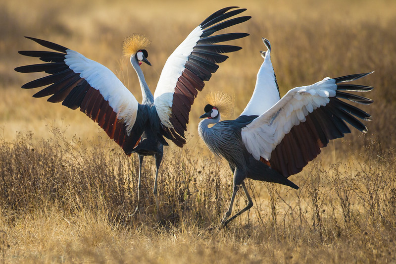 Africa. Tanzania. Grey crowned cranes (Balearica regulorum) at Ngorongoro crater.