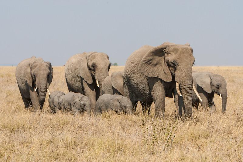 Africa. Tanzania. Elephant herd in Serengeti NP.