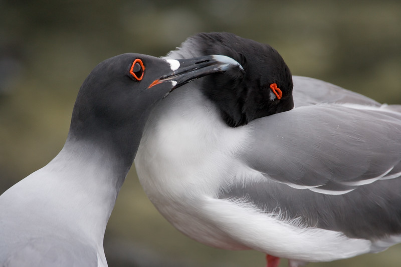 Ecuador. Swallow-tailed Gulls in breeding plumage on Espaniola Island in the Galapagos.