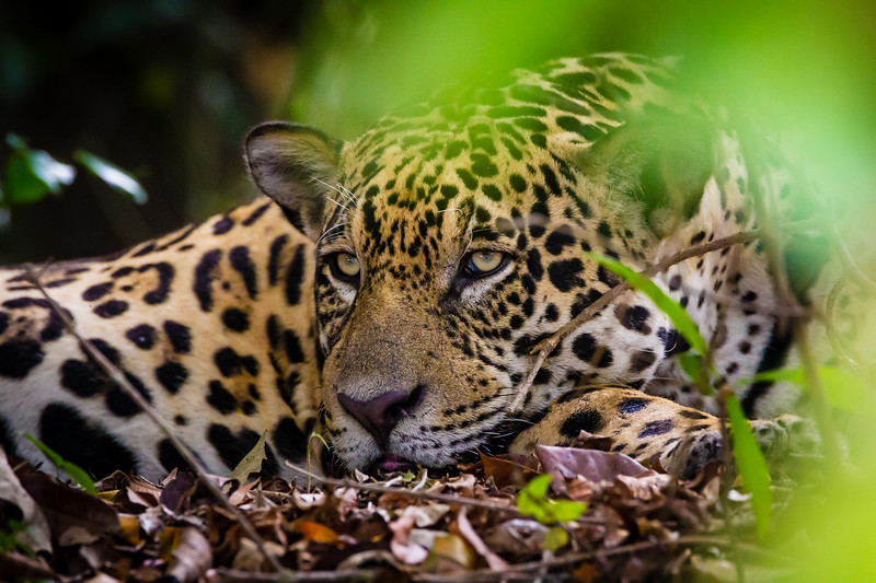South America. Brazil. A male jaguar (Panthera onca), an apex predator resting along the banks of a river in the Pantanal, the world's largest tropical wetland area, and a UNESCO World Heritage Site.