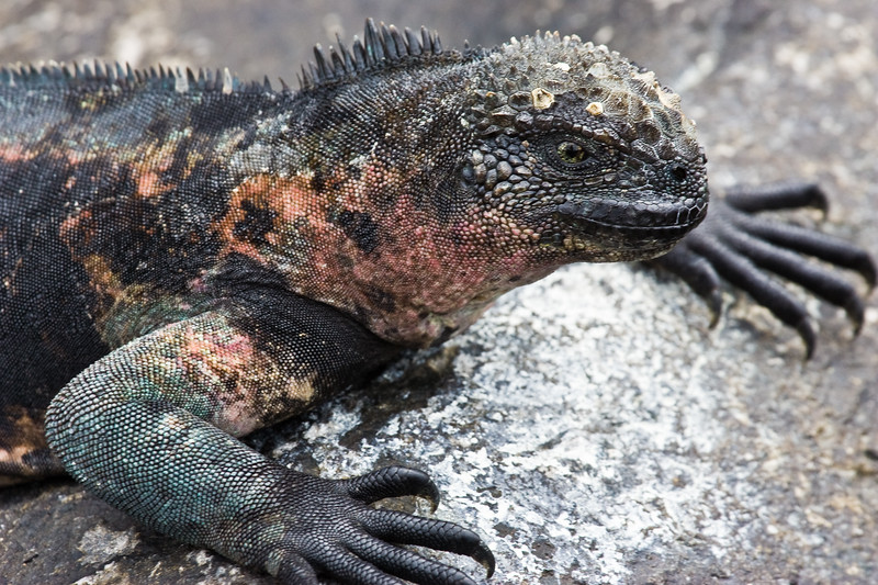 Ecuador. Marine Iguana soaking up the sun in the Galapagos islands.