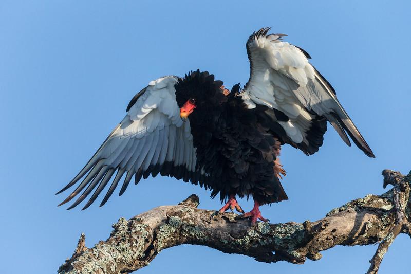 Africa. Tanzania. Bateleur eagle (Terathopius ecaudatus) in Serengeti NP.