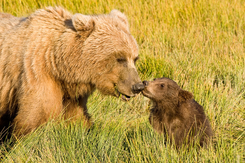USA. Alaska. Coastal Brown Bear mother and cubs at Silver Salmon Creek, Lake Clark NP.