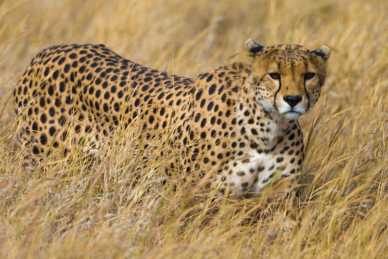 Africa. Tanzania. Cheetah (Acinonyx jubatus)  hunting on the plains of the Serengeti in Serengeti NP.