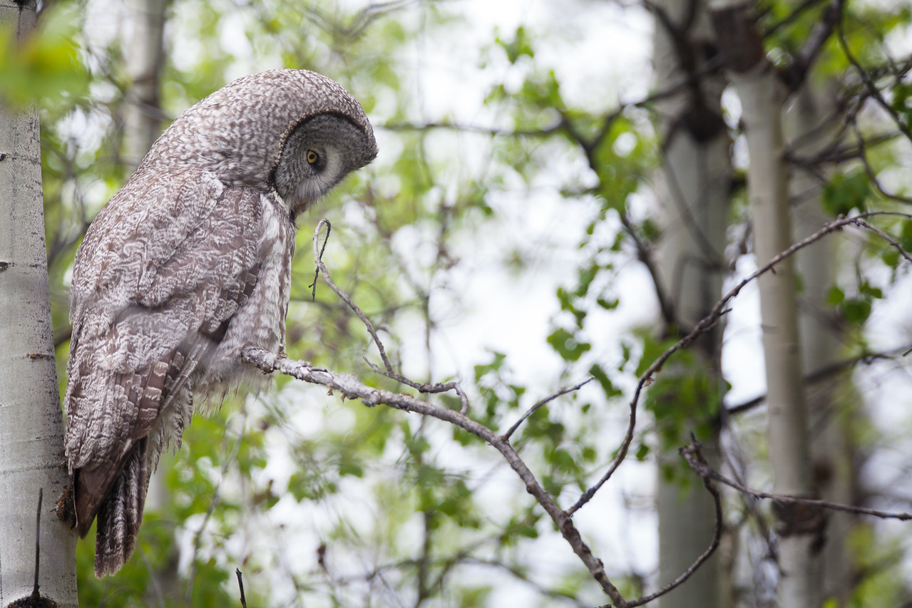 Great Grey Owl, Wyoming. 2015