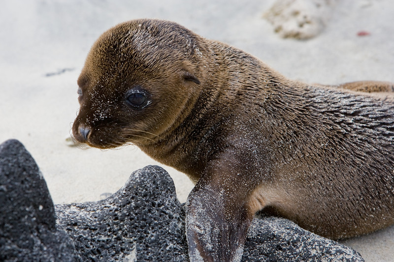 Ecuador. Galapagos Sea Lion pup on the beach.