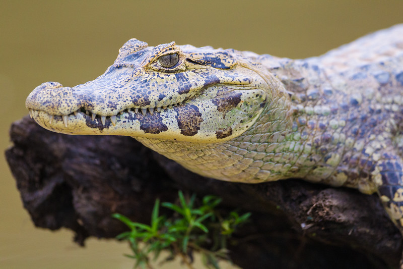 South America. Brazil. A spectacled caiman (Caiman crocodilus) commonly found in the Pantanal, the world's largest tropical wetland area, and a UNESCO World Heritage Site.