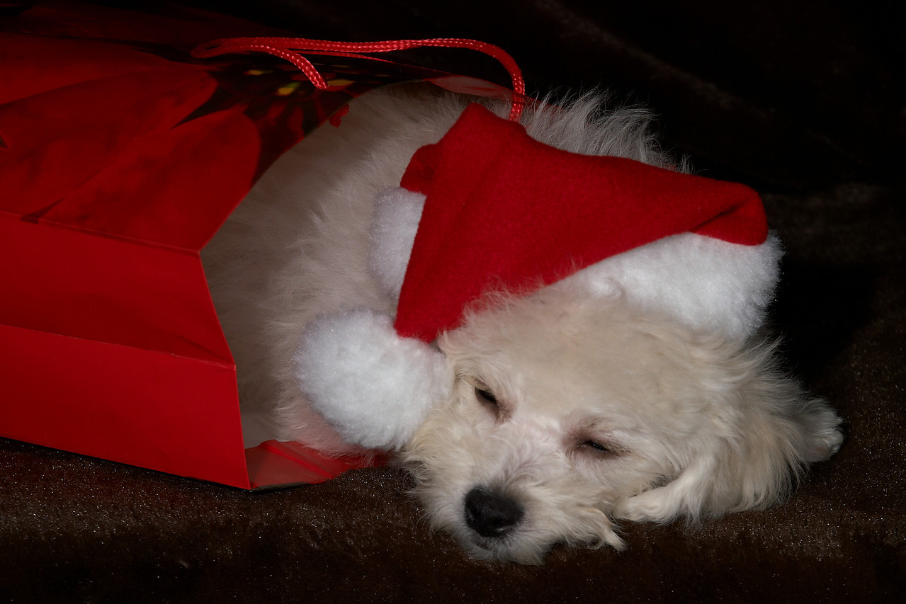 The Christmas Puppy - Puppy in a bag with a santa hat on