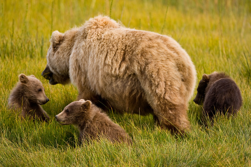 USA. Alaska. Coastal Brown Bear mother and cubs feeding on sedge grass at Silver Salmon Creek, Lake Clark NP.