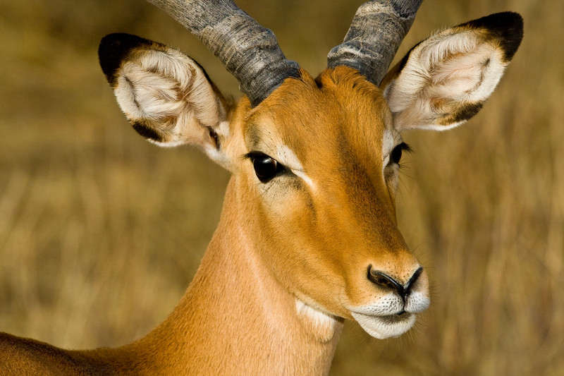 Africa. Kenya. Red-billed Oxpecker cleans male Impala antelope at Samburu NP.