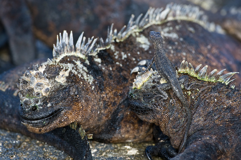 Ecuador. A Lava Lizard climbs on Marine Iguanas soaking up the sun in the Galapagos islands.