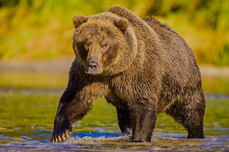 Katmai Bears