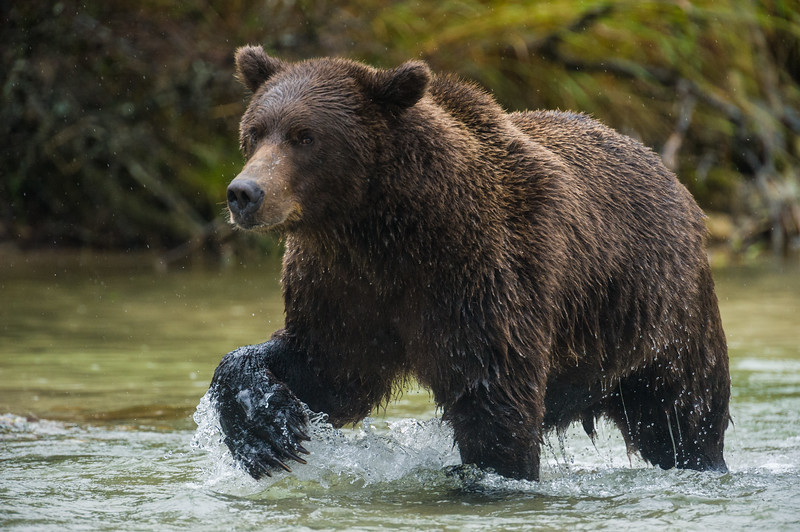 Alaska. Katmai NP. Coastal Brown Bear fishing for salmon.