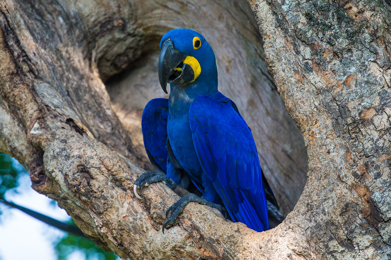 South America. Brazil. Hyacynth macaw (Anodorhynchus hyacinthinus), a vulnerable species of parrot,  in the Pantanal, the world's largest tropical wetland area, and a UNESCO World Heritage Site.