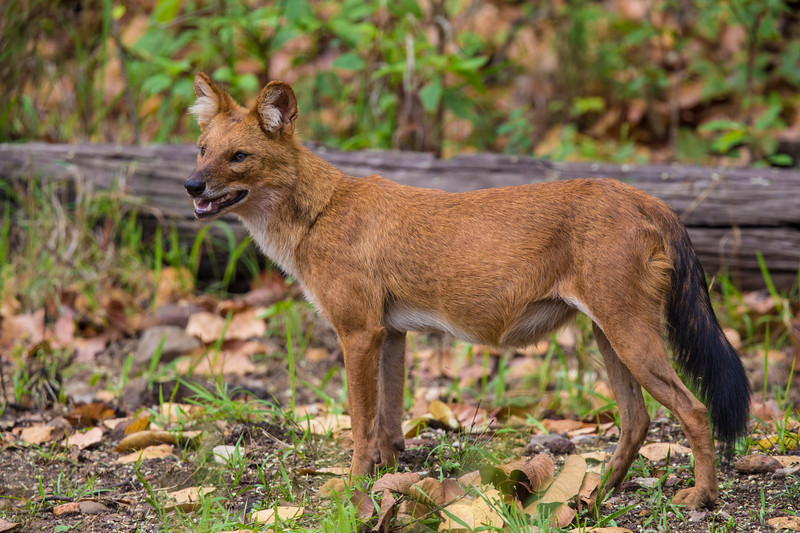 Asia. India. Indian wild dog, or Dhole (Cuon alpinus) at Kanha tiger reserve.