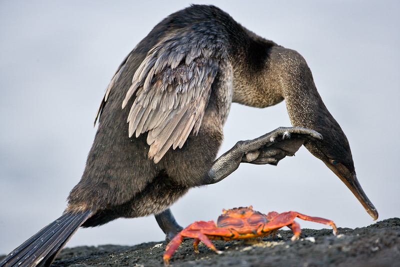 Ecuador. A Flightless Cormorant scratches its head while a Sally Lightfoot crab looks on at Fernandina Island in the Galapagos.