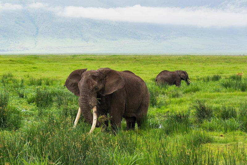 Africa. Tanzania. African elephants (Loxodonta africana) at the crater in the Ngorongoro Conservation Area.