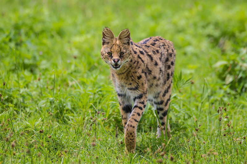 Africa. Tanzania. Serval cat (Leptailurus serval) hunting  in Serengeti NP.