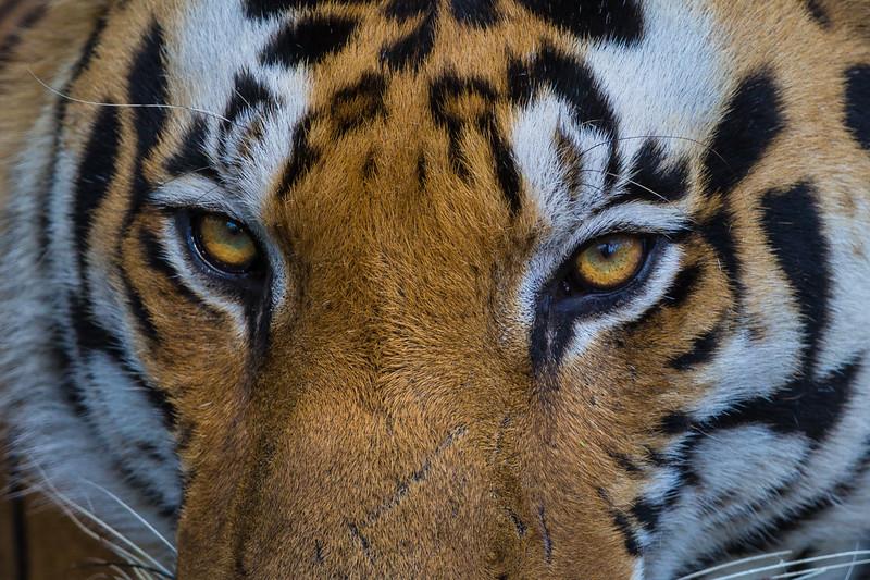 Asia. India. Male Bengal tiger (Pantera tigris tigris) enjoys the cool of a water hole at Kanha Tiger Reserve.