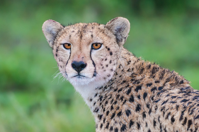 Africa. Tanzania. Female Cheetah at Ndutu in the Ngorongoro Conservation Area.