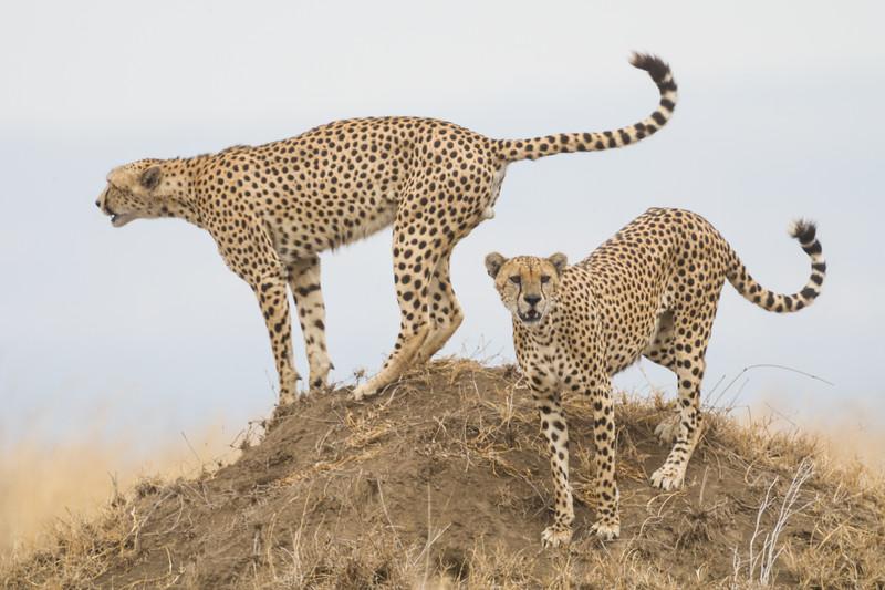 Africa. Tanzania. Cheetahs hunting from a termite mound at Serengeti NP.