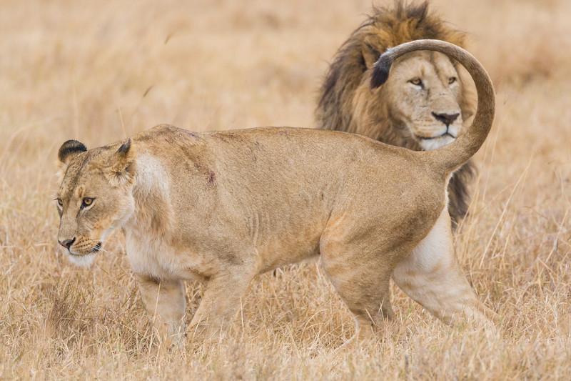 Africa. Tanzania. Lions mating at Ngorongoro Crater.