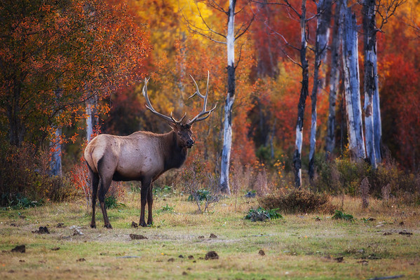 Bull elk amongst autumn leaves. Teton Village, Wyoming. 2016