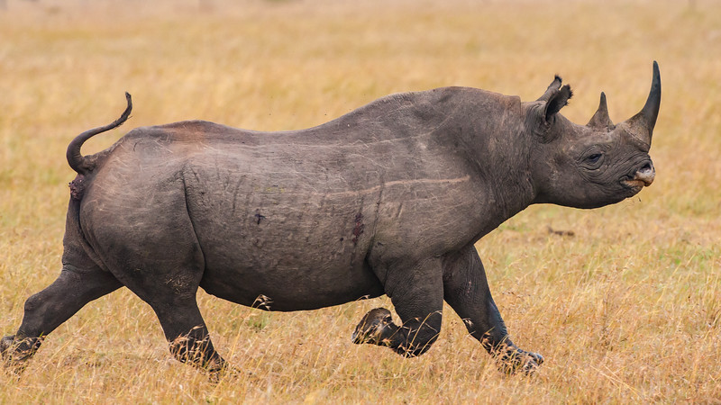 Black Rhinocerus, a critically endangered species, at Ol Pejeta Reserve, Kenya.