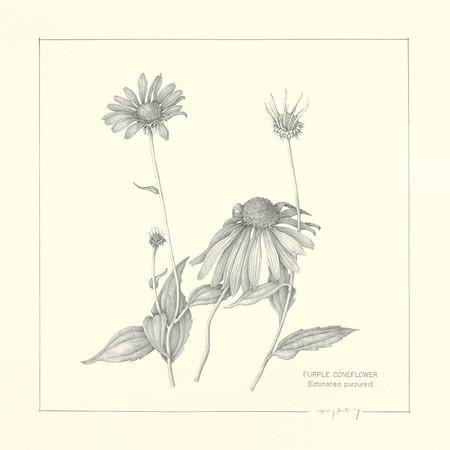 © <b>Jerry Kurtzweg</b> - <i>Echinacea purpurea</i>
